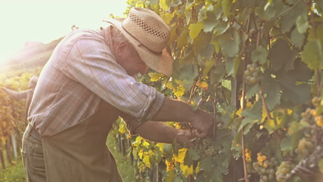 Man harvesting grapes with garden shears at sunset