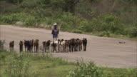 A man herds goats along a rural road.