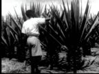 Man in shorts tends to large sisal plants ready for harvesting Man cuts off large mature leaves lays on ground / AUDIO