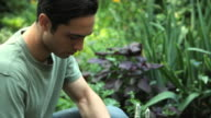 CU TD Man inspecting and picking kale in backyard garden / Jersey City, New Jersey, USA