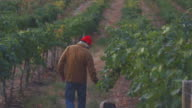 MS Man inspecting grape vines in vineyard / Zillah, Washington, USA