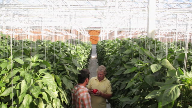 MS ZO WS HA Man instructing young colleague about peppers in greenhouse / Perth, Australia