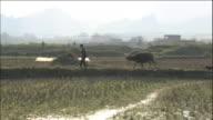 A man leads an ox through a field in Guangxi, China