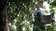 MS Man picking apple from tree in organic farm / Brodowin, Brandenburg, Germany