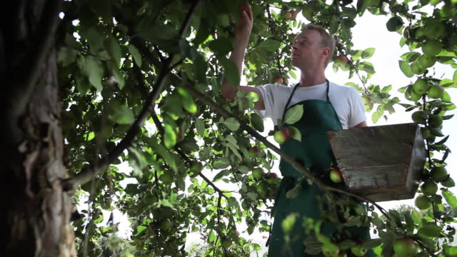 MS Man picking apple from tree in organic farm / Brodowin, Brandenburg, Germany