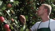 CU Man picking apples from tree at organic farm / Brodowin, Brandenburg, Germany