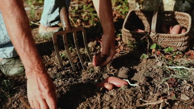 CU Man picking potatoes in field / Corsept, Loire-Atlantique, France