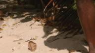 MS TU Man playing African drum on the beach / Brightown, Barbados