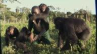 MS ZI Man playing with chimpanzee's in forest / Ngamba Chimp Sanctuary, Ngamba Island, Uganda