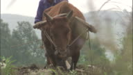 Man ploughs field with oxen, Qinling, China