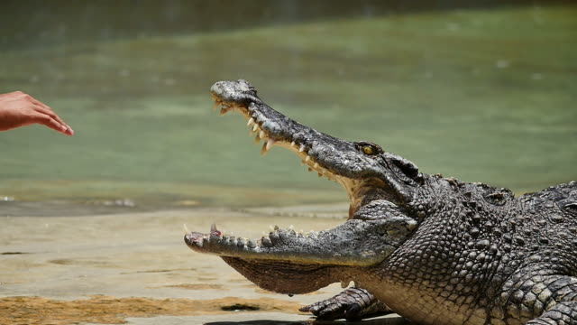 Man put his hand in crocodile's mouth. (Slow motion)