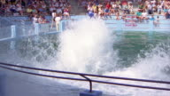 1988 SLO MO WS Man riding on nose of killer whale rising out of water and touching ball / California, USA