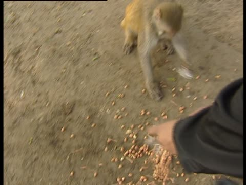 Man scatters nuts on ground for gathered rhesus macaque monkeys