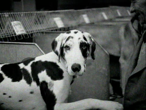 A man shakes the paw of a spotted dog 1954