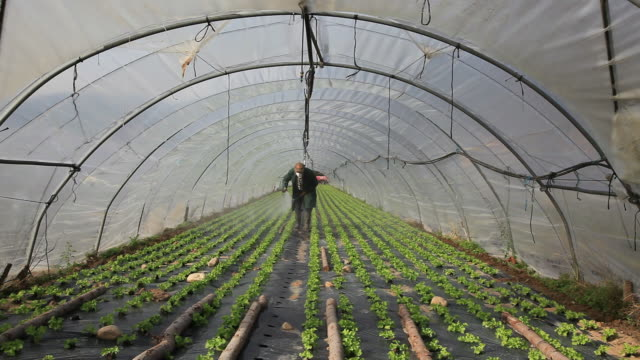 Man spraying lettuces (Lactuca sativa) in polytunnel, Ardeche, France