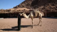 Man taking care of a Dromedary at a Bedouins Village in the Sinai Desert
