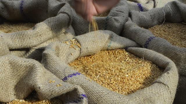 CU Man testing quality of whole wheat grain in sack / Gurgaon, Haryana, India