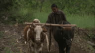 A man uses oxen to plow a field.