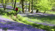 A man walking along a path through woodland carpetted with Bluebells at Brathay, near Ambleside, Lake District National Park, Cumbria, UK, in Spring.