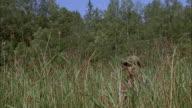 CU Man walking through reeds, stopping to look through binoculars, Ryd, Smaland, Sweden