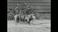 Buster Keaton walks a Dachshund that is attached to a set of wheels