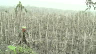 Man walks through his destroyed cucumber plot by heavy ash fall from Merapi volcano eruption; Indonesia. 7 November 2010 / AUDIO
