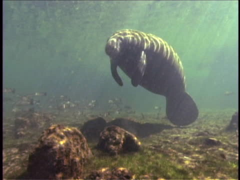 A manatee swims toward the surface.