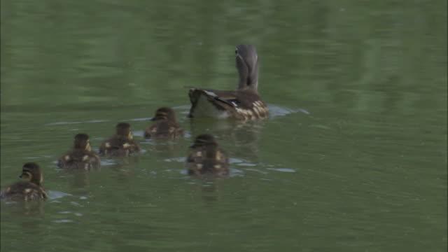 Mandarin duck and ducklings swim on lake, Beijing