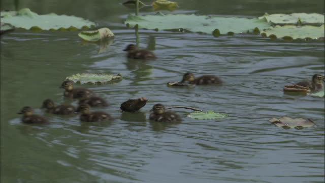 Mandarin duck and ducklings swim through water lilies, Beijing