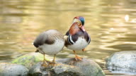 Mandarin duck cleaning itself in the nature