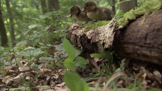 Mandarin duck ducklings clamber over log in wood, UK