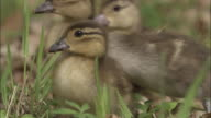 Mandarin duck ducklings in wood, UK
