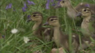 Mandarin duck ducklings in wood, UK