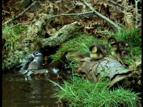 Mandarin duck family enter pool