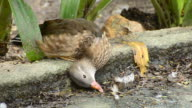 Mandarin Duck has injured at its neck and lie down