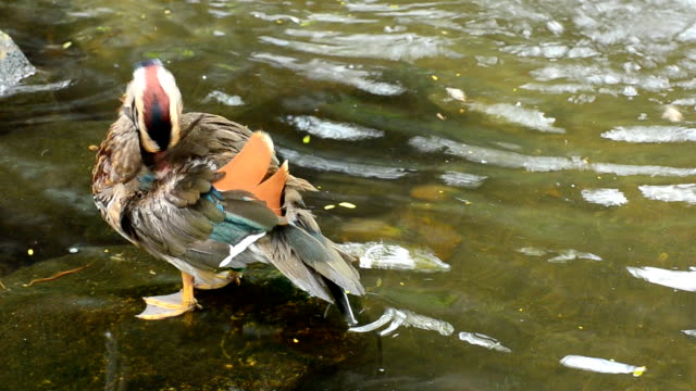 Mandarin duck in the nature