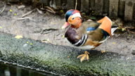 Mandarin Duck in the nature