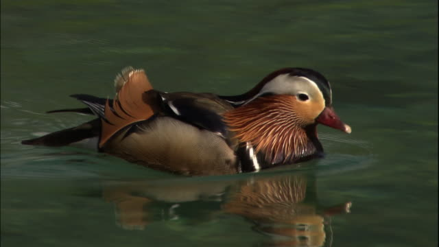 Mandarin duck on Taisho pond.