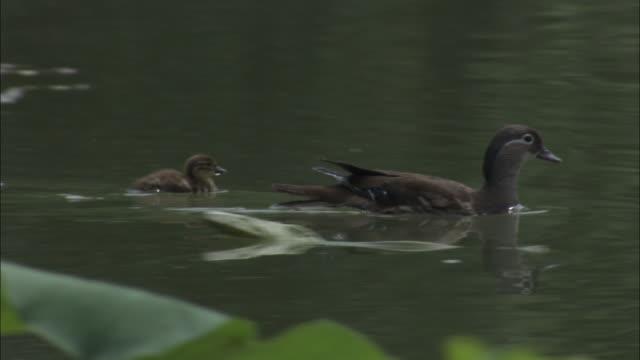 Mandarin duck with ducklings amongst water lilies, Beijing.