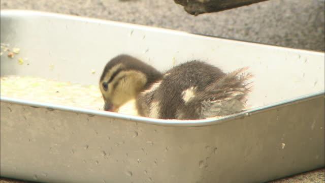 A Mandarin duckling pecks at food in a pan.