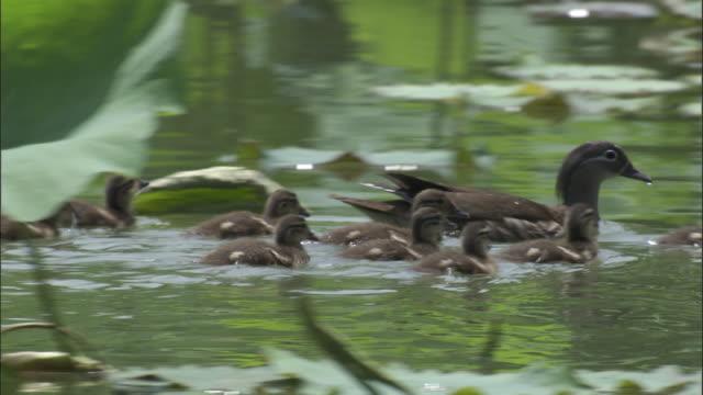 Mandarin ducklings follow mother across lake, Beijing.