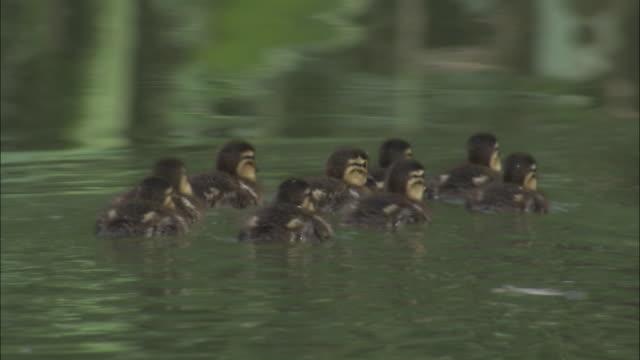 Mandarin ducklings swim on lake, Beijing