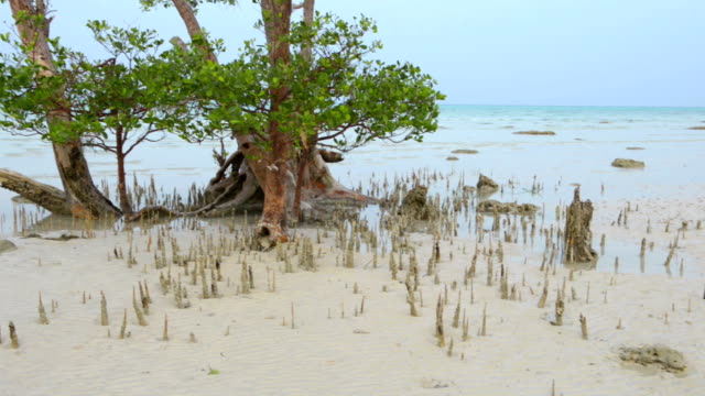 Mangrove prop root