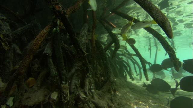 Mangrove, root scenic, Aldabra, Indian Ocean