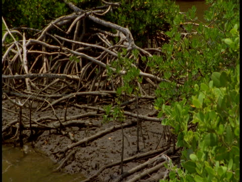 Mangrove roots and branches twist through mud on the banks of the swampy Everglades.