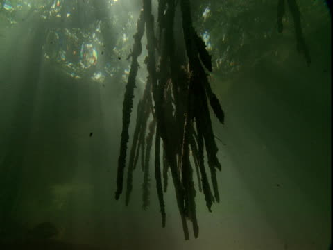 Mangrove roots dangle in sun drenched waters.
