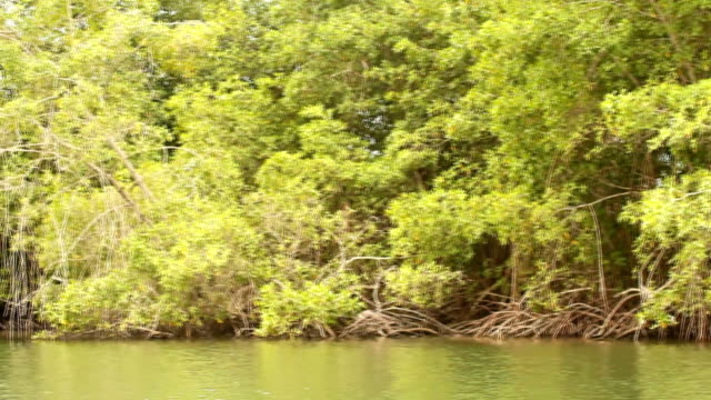 Mangrove swamp seen from moving boat.