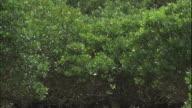 Mangrove trees create a canopy on the coast of Amami Oshima Island.