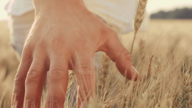 SLO MO Man's hand caressing wheat in the field