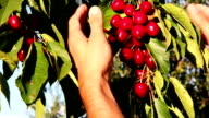 Man's hand picking bright red cherries